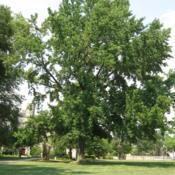 Location: West Chester University in southeast PADate: 2008-07-29full-grown tree in summer