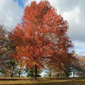 Location: Valley Forge Park in southeast PADate: 2014-11-07mature tree in autumn color