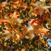 Location: Downingtown, PennsylvaniaDate: 2010-11-02leaves getting fall color