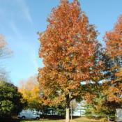 Location: Newtown Square, PennsylvaniaDate: 2010-11-02mature tree in fall color