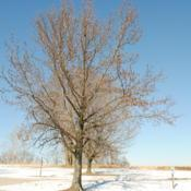 Location: Valley Forge Park in southeast PADate: 2014-01-30mature tree in winter