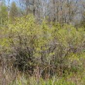 Location: Thomas Darling Preserve in Blakeslee, PADate: 2016-05-20wild shrub just leafing out