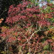 Location: Rehoboth Beach, DelawareDate: 2011-10-30wild full-grown shrub in autumn color