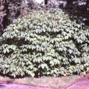 Location: Morton Arboretum in Lisle, IllinoisDate: summer in 1980'sshrub in summer
