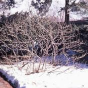 Location: Morton Arboretum in Lisle, IllinoisDate: winter in 1980'sshrub in winter