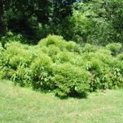 Location: Morris Arboretum in Philadelphia, PADate: 2016-06-15a mass of shrubs