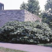 Location: Morton Arboretum in Lisle, IllinoisDate: summer in 1980'sshrubs at building corner