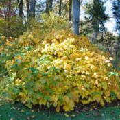 Location: Jenkins Arboretum in Berwyn, PennsylvaniaDate: 2012-10-21shrub in autumn color