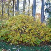 Location: Jenkins Arboretum in Berwyn, PennsylvaniaDate: 2014-10-26shrub in autumn color, not quite fully