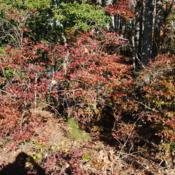 Location: Rehoboth Beach, DelawareDate: 2011-10-30wild group of shrubs in fall color