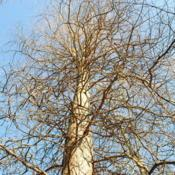 Location: Downingtown, PennsylvaniaDate: 2010-01-09looking up trunk in winter