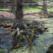 Location: Jenkins Arboretum in Berwyn, PennsylvaniaDate: 2017-04-16submerged roots and knees