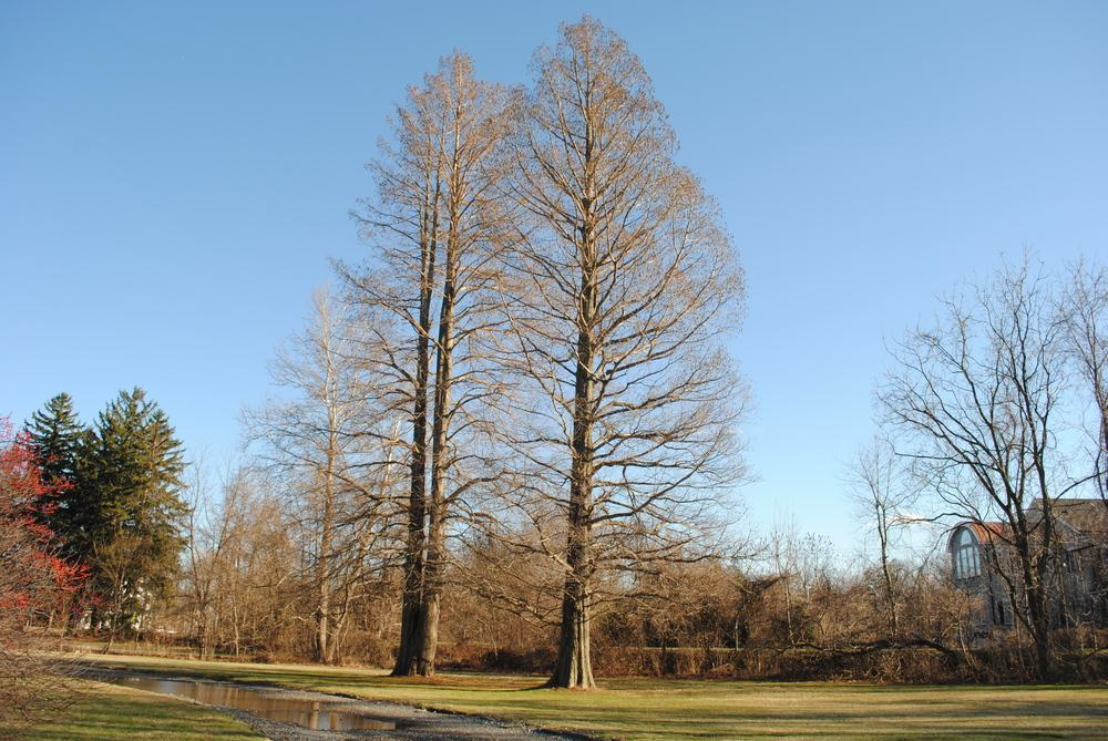 Photo of Bald Cypress (Taxodium distichum) uploaded by ILPARW