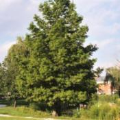 Location: Glen Ellyn, IllinoisDate: August 2000lone maturing tree in summer
