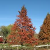 Location: Downingtown, PennsylvaniaDate: 2007-11-24tree in autumn color