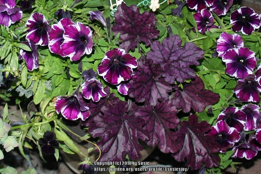 Photo of Coral Bells (Heuchera 'Forever Purple') uploaded by 4susiesjoy