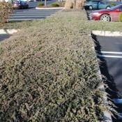 Location: Downingtown, PennsylvaniaDate: 2009-12-16groundcover in parking lot island in winter