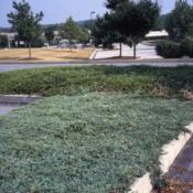 Location: Downingtown, PennsylvaniaDate: summer 2007groundcover in a parking lot island