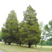 Location: near Reading, PennsylvaniaDate: 2012-07-20two trees