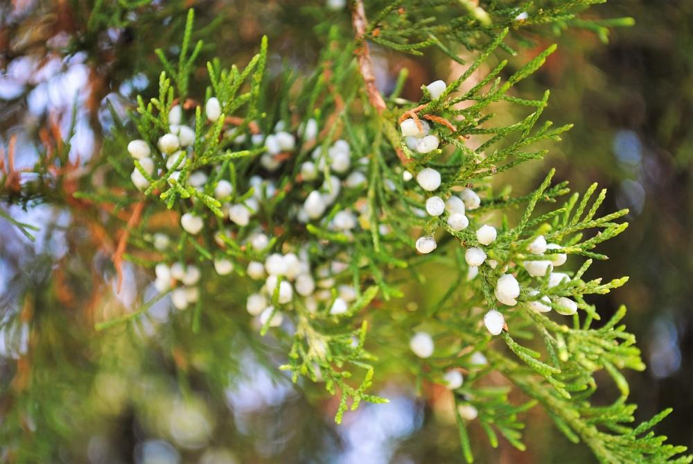 Photo of Eastern Red Cedar (Juniperus virginiana) uploaded by ILPARW
