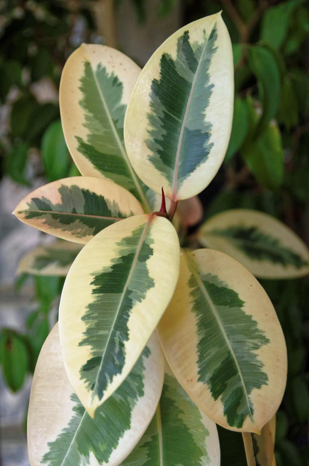 Photo of Rubber Tree (Ficus elastica 'Tricolor') uploaded by dirtdorphins