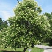 Location: West Chester, PennsylvaniaDate: 2008-07-10mature tree in bloom