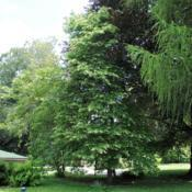 Location: Media, PennsylvaniaDate: 2013-07-05mature tree in yard