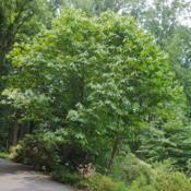 Location: Jenkins Arboretum in Berwyn, PennsylvaniaDate: 2014-06-22mature tree along walkway