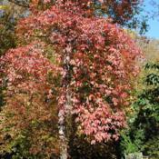 Location: Tyler Arboretum in southeast PA near MediaDate: 2011-11-02red autumn color