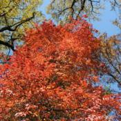 Location: Jenkins Arboretum in Berwyn, PADate: 2011-11-02crown of tree in fall color