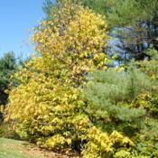 Location: Jenkins Arboretum in Berwyn, PennsylvaniaDate: 2014-10-26tree in yellow autumn color