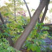 Location: Jenkins Arboretum in Berwyn, PennsylvaniaDate: 2012-10-21trunks and bark