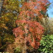 Location: Tyler Arboretum in southeast PA near MediaDate: 2010-10-28full-grown tree in autumn color