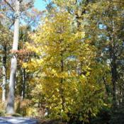 Location: Jenkins Arboretum in Berwyn, PennsylvaniaDate: 2012-10-21full-grown tree in yellow fall color