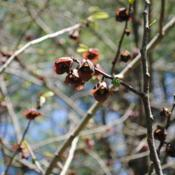 Location: Jenkins Arboretum in Berwyn, PennsylvaniaDate: 2016-04-24the red-brown flowers