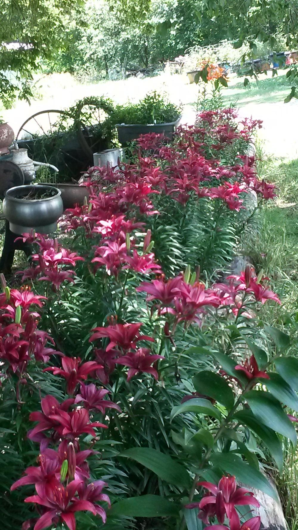 Photo of Lilies (Lilium) uploaded by thomasjones2266