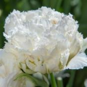 "Location: Holland - home gardenDate: 2017-05-06Tulips ""Snow Crystal"" - fringed group"