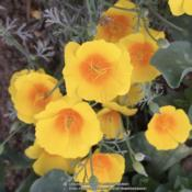 Location: Hamilton Square Garden, Historic City Cemetery, Sacramento CA.Date: 2015-09-16Blooms sooner and longer than our other Eschscholzia. Flower alwa