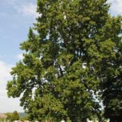 Location: Downingtown, PennsylvaniaDate: 2010-08-05tree in summer