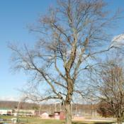 Location: Thorndale, PennsylvaniaDate: 2010-12-09tree in church yard in winter