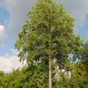 Location: West Chester, PennsylvaniaDate: 2010-07-30tallest tree among others
