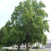 Location: Thorndale, PennsylvaniaDate: 2010-08-05large tree in church yard in summer