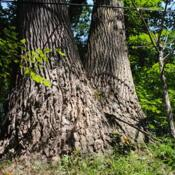 Location: Blinky Lee Land Preserve near Kimberton, PADate: 2015-08-15huge trunks