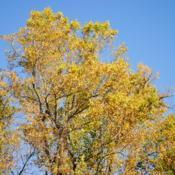 Location: Hibernia County Park in southeast PennsylvaniaDate: 2015-10-23golden fall color of tree top