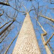 Location: Marsh Creek Lake Park in southeast PADate: 2018-01-18looking up trunk