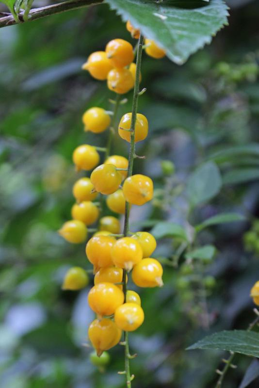 Photo of Sky Flower (Duranta erecta) uploaded by RuuddeBlock