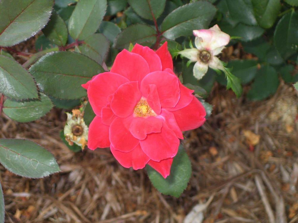Photo of Roses (Rosa) uploaded by perryhoffman