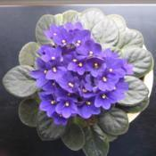 Location: Louisville,, KYDate: 2008-09-27My Mothers African Violet. Probably 10 years old.