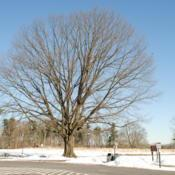 Location: Valley Forge Park near Norristown, PADate: 2014-01-30full-grown tree in winter