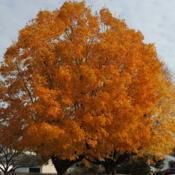 Location: Downingtown, PennsylvaniaDate: 2015-10-31mature tree in autumn color